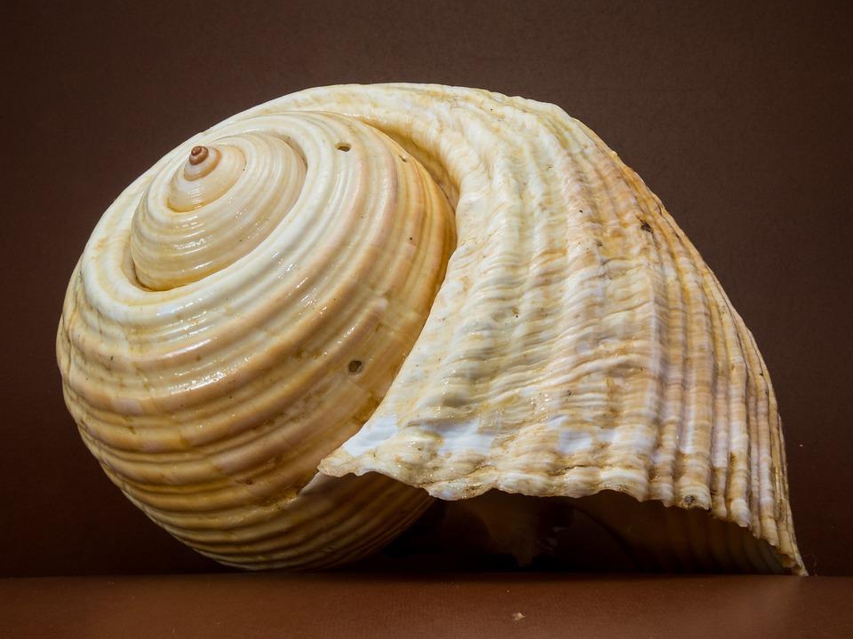Shell, Snail, Close