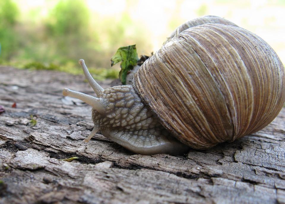 Snail, Helix Pomatia, Shell, Mollusk, Nature, Animal