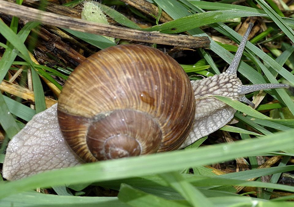 Snail, Winniczek, Grass, Natural, Nature, Horns