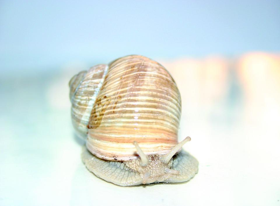 Snail, Mollusk, Shell, Nature, Animals, Slowly, Crawl