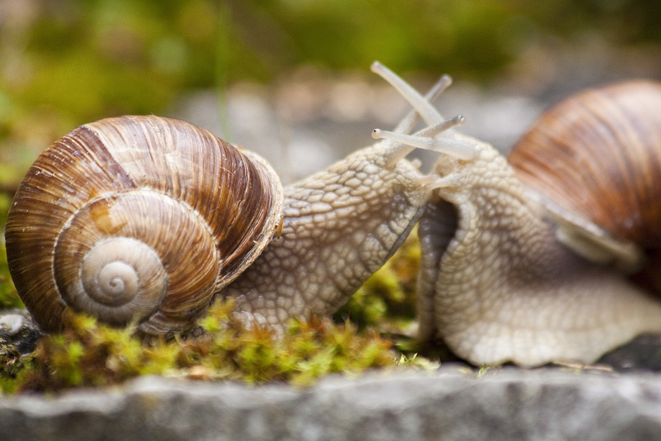 Snail, Snails, Helix, Spiral, Pomatia, Grass, Animal