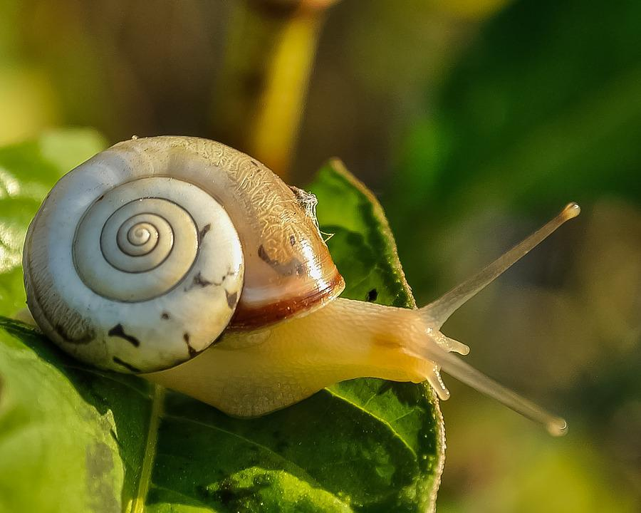 Snail, Snail Shell, Slow, Animal, Nature, Wildlife