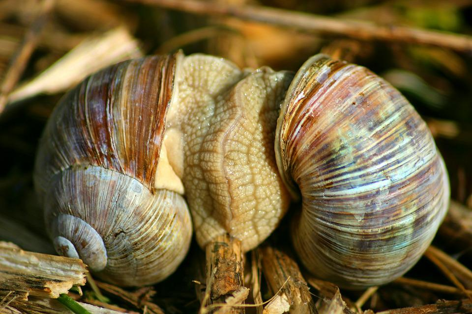 Snails, Pairing, Snail, Mollusk, Nature, Animal