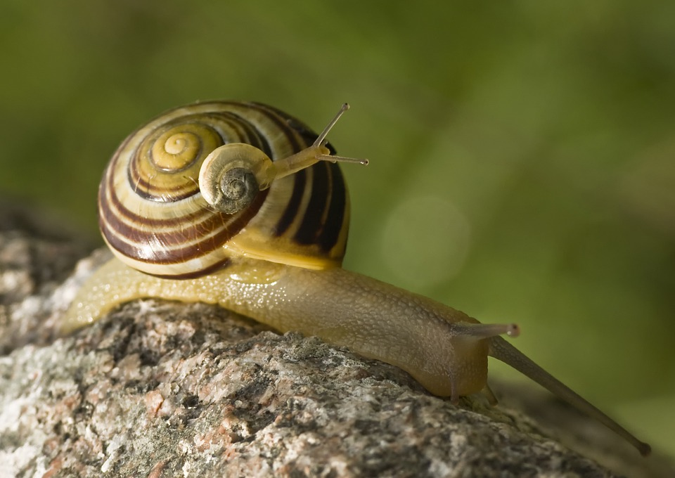 Snail, Snails, Tandem, Duo, Two, Piggyback, Last, Bear