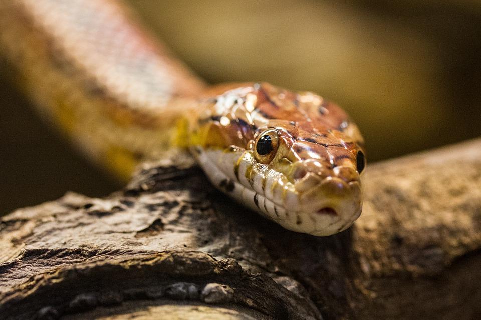 Snake, Animals, Reptile, Animal Portrait, Wild Animals