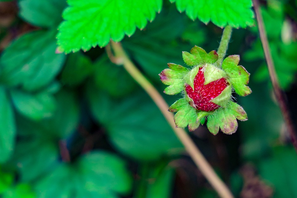 Snake Berry, Berry, Fruit, Close-up, Leaf, Fresh