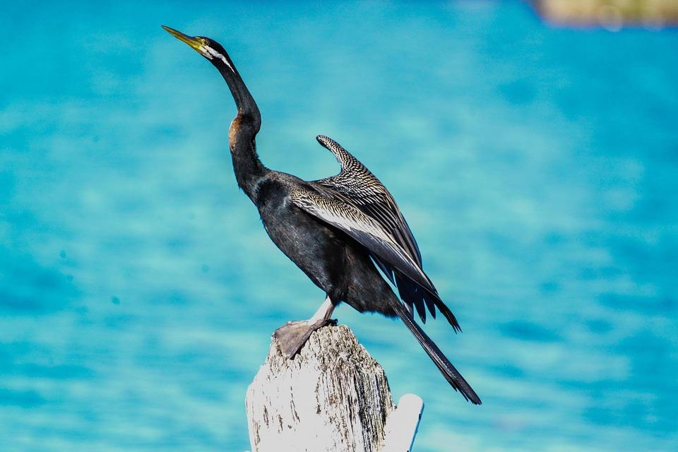 Bird, Snake Bird, Canberra, Australia, Waterfowl, Fly