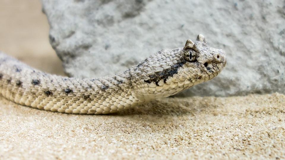 Snake, Deserts Horn Viper, Viper, Close, Reptile
