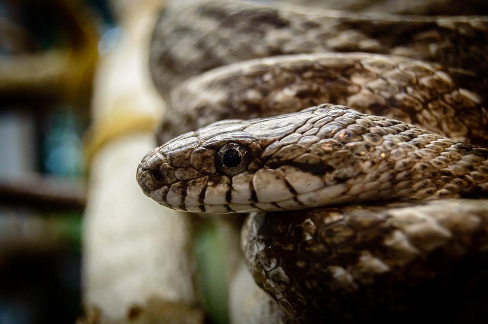 Snake, Snake Head, Head, Reptile, Wildlife, Nature