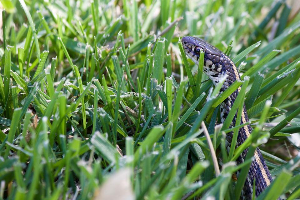 Snake In The Grass, Garden Snake, Green, Wild, Nature