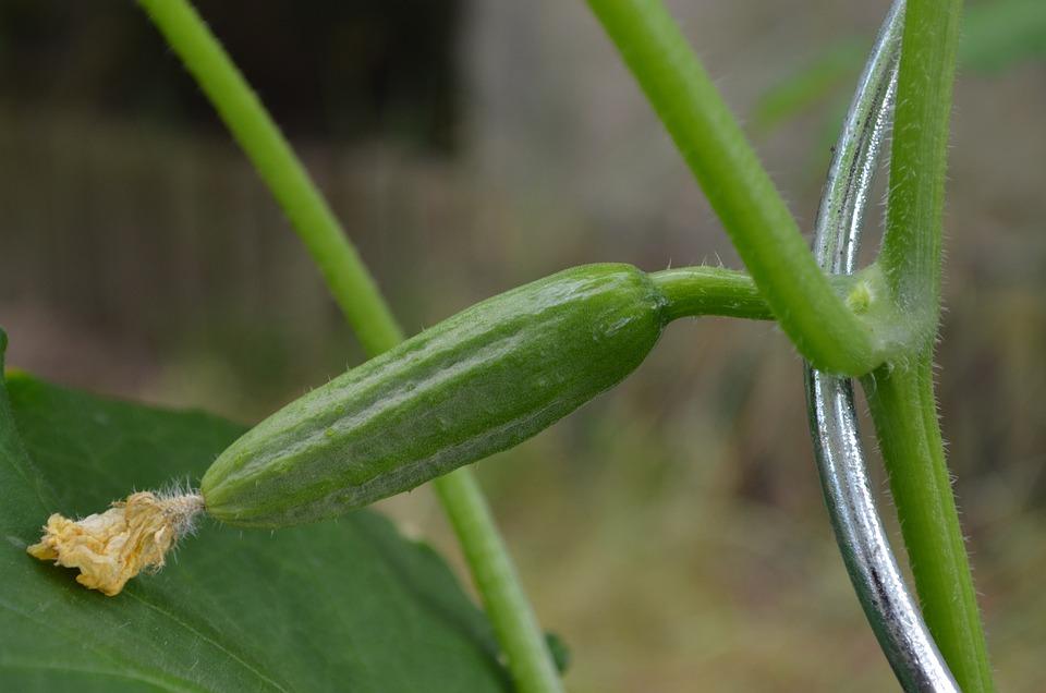 Cucumber, Snake Pickle, Vegetables