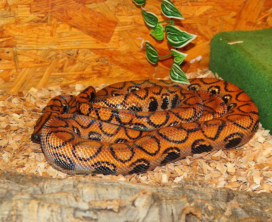 Snake, Reptile, Red Rainbow Boa, Orange, Terrarium