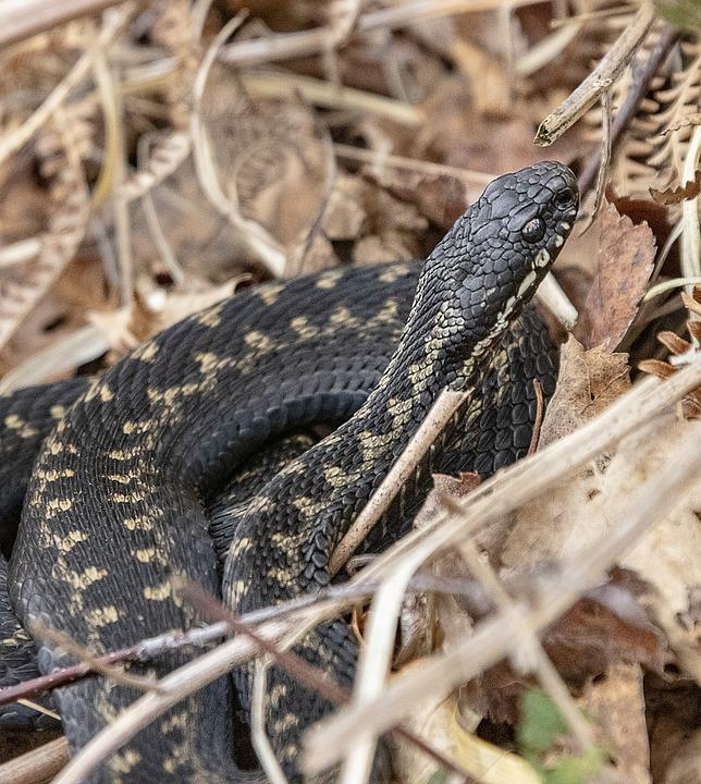 Adder, Snake, Poisonous, Scales, Reptile, Nature, Toxic