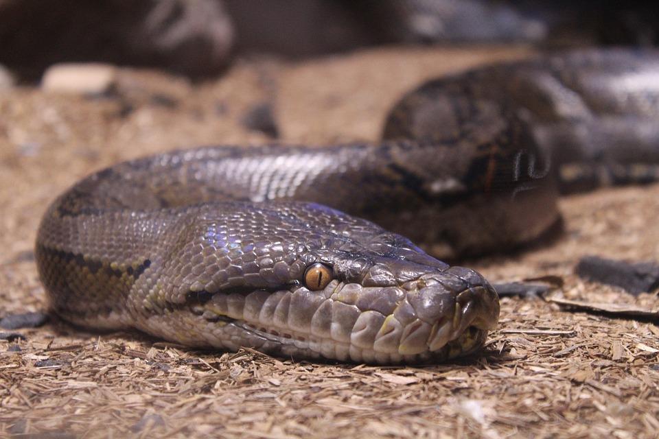 Reptile, Snake, Nature, Animal, Wildlife, Python, Wild