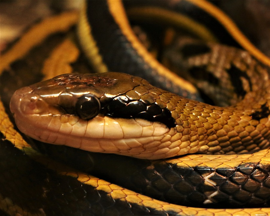 Snake, Reptile, Scales, Animal