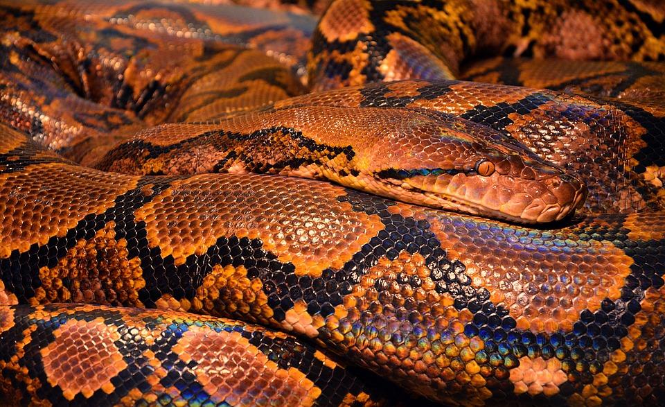 Snake, Python, Reptile, Animal, Snake Skin, Browm