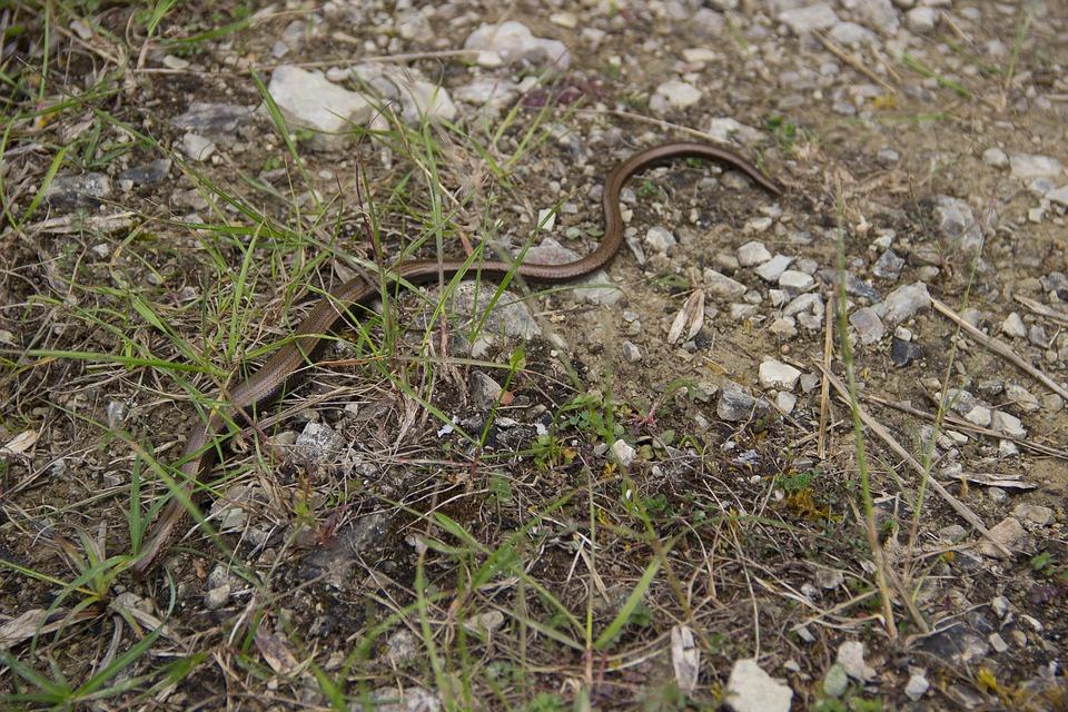 Nature, Slow Worm, Snake, Crawl, Reptile