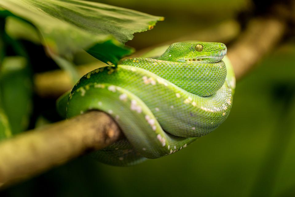Snake, Green, Macro, Animal, Zoo, Portrait, Exot
