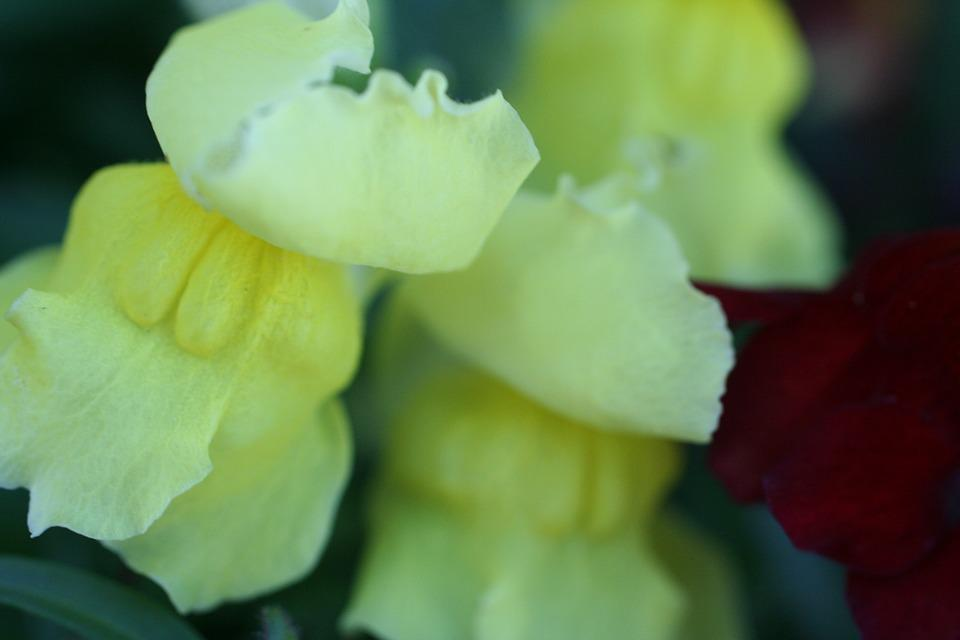 Yellow, Annual, Flower, Garden, Snapdragon, Blooms