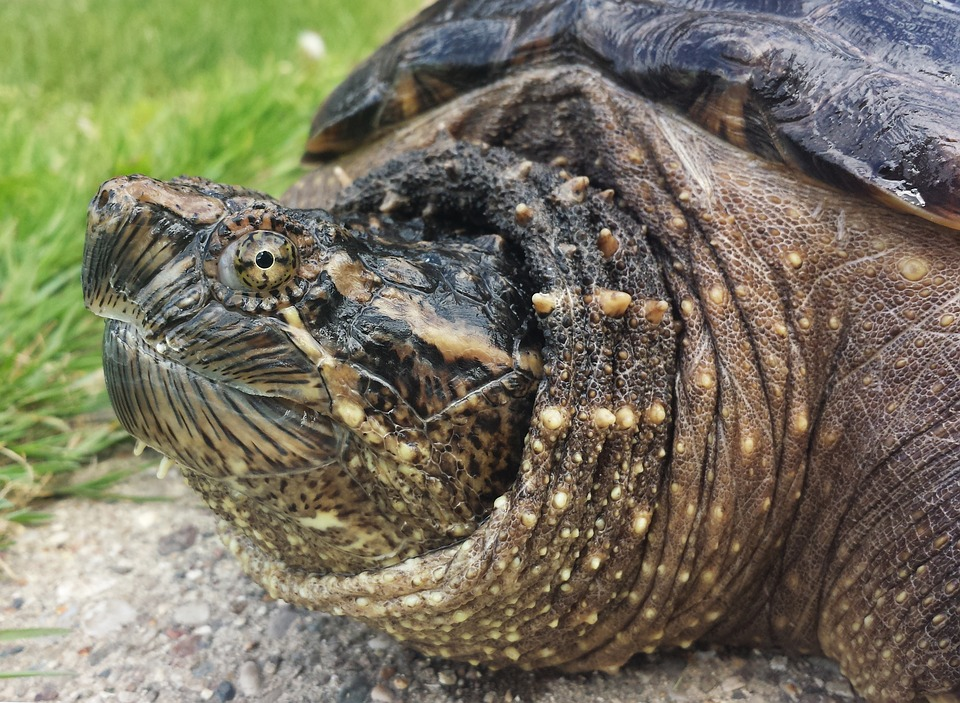 Snapping, Turtle, Snapper, Chelydra, Serpentina