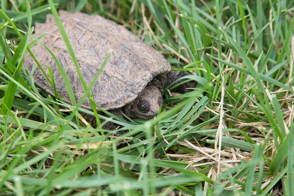 Snapping Turtle, Animal, Nature, Turtle