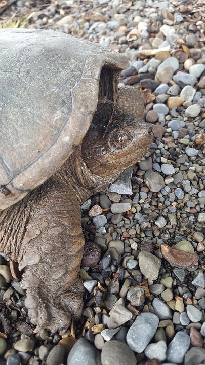 Snapping Turtle, Lake, Turtles, Nesting Turtle, Nature