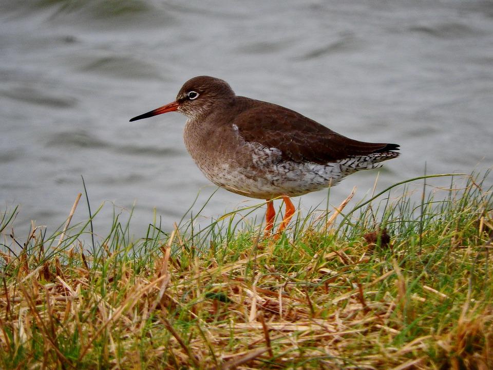Redshank, Bird, Watt Bird, Snipe, Animal, Nature, Coast