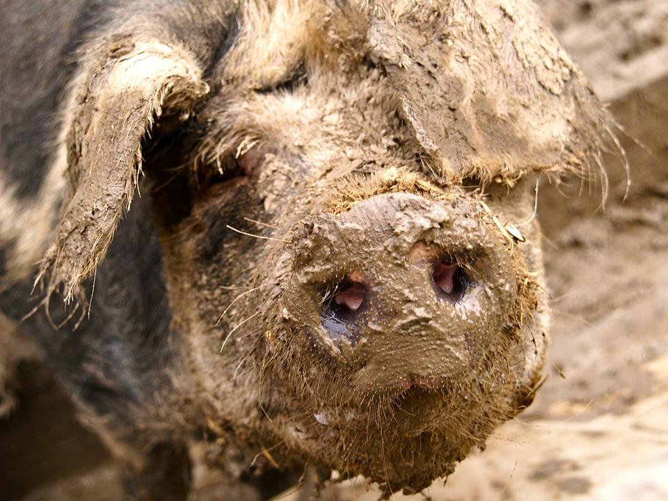 Pig, Mud, Quagmire, Dig, Pig Nose, Dirt, Nature, Snout