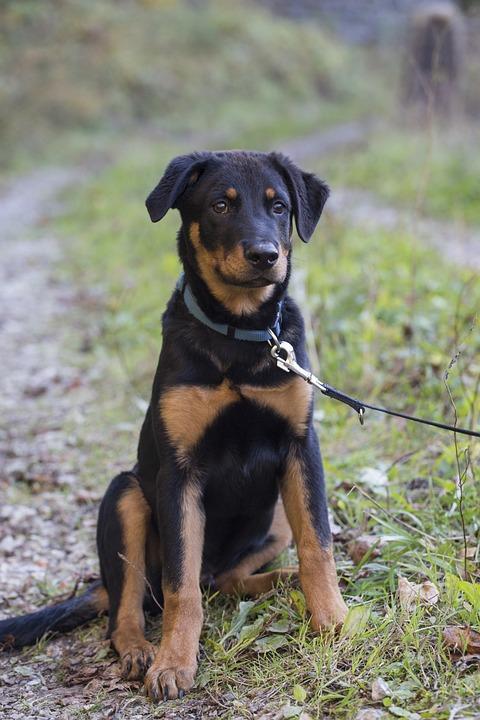 Rottweiler, Dog, Pet, Animal, Hundeportrait, Snout