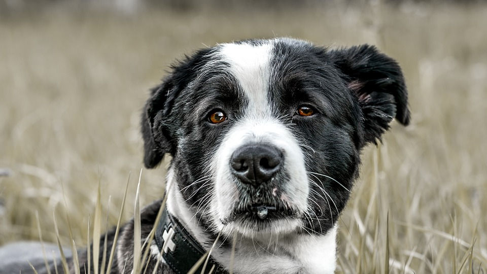Dog, Field, Animal, Snout, Head, Young Dog, Pet