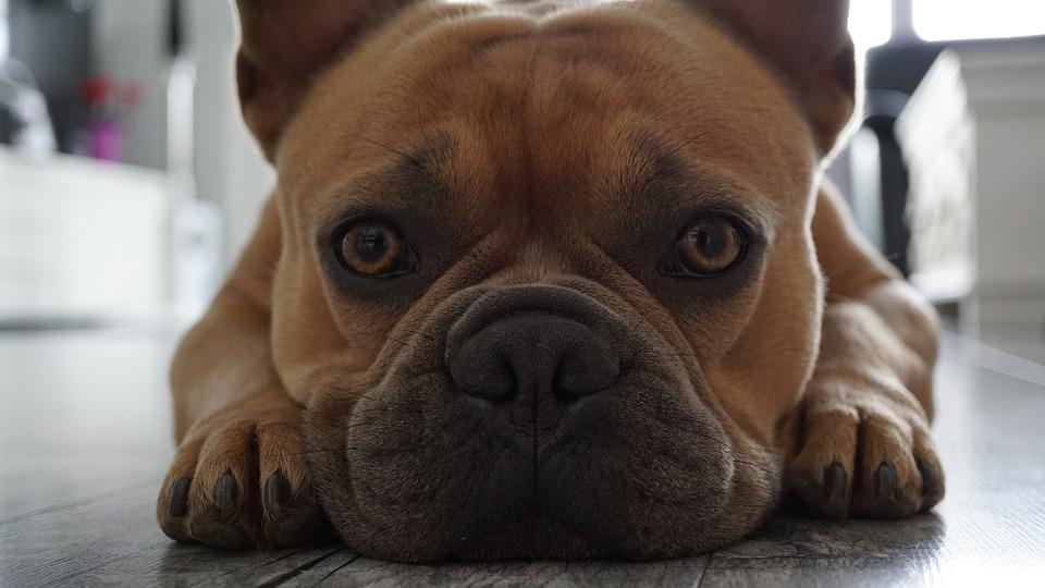 French Bulldog, Face, Snout, Paws, Eyes, Skin Wrinkles
