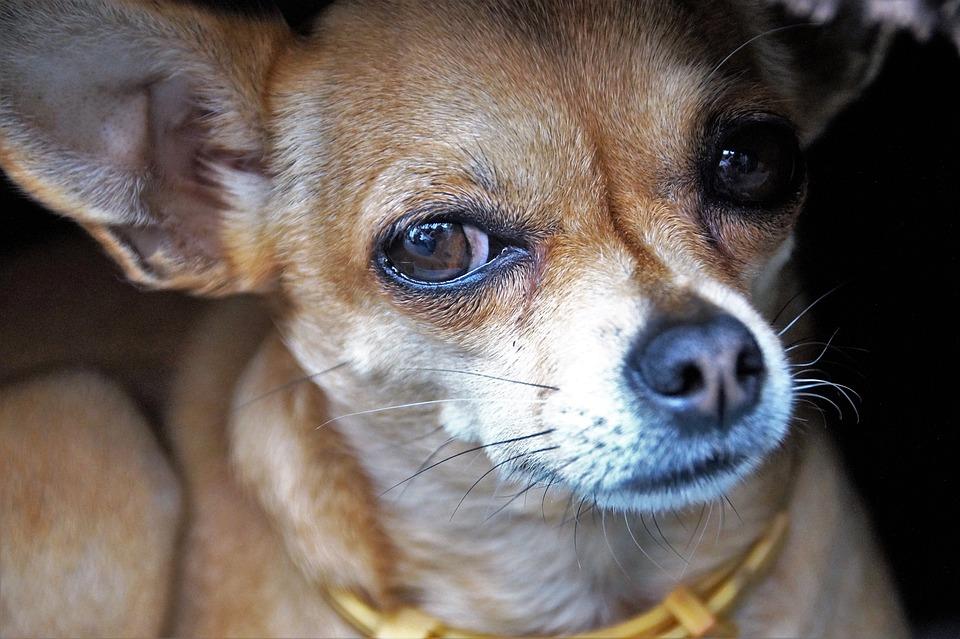 Dog, Chihuahua, Dog Eyes, View, Snout, Pet, Big Eyes