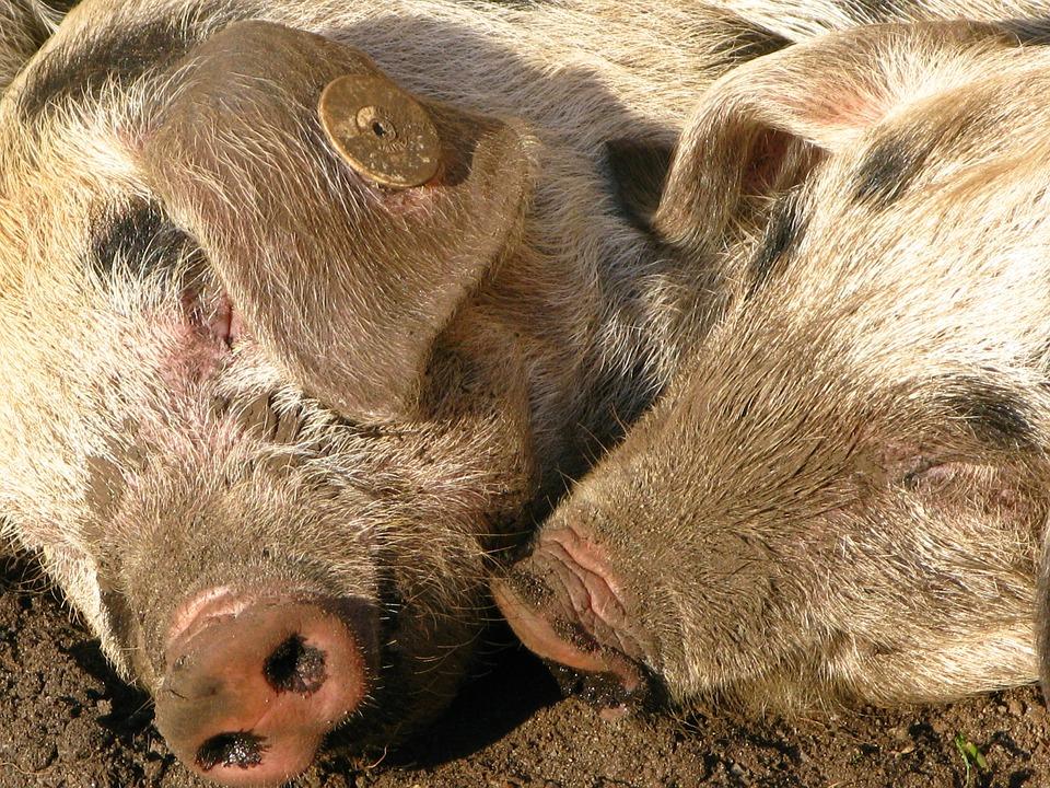 Pigs, Snout, Pig Snout, Animals, Piglet