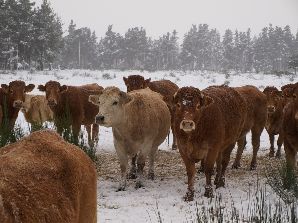 Cow, Herd, Cattle, Field, Agriculture, Animals, Snow