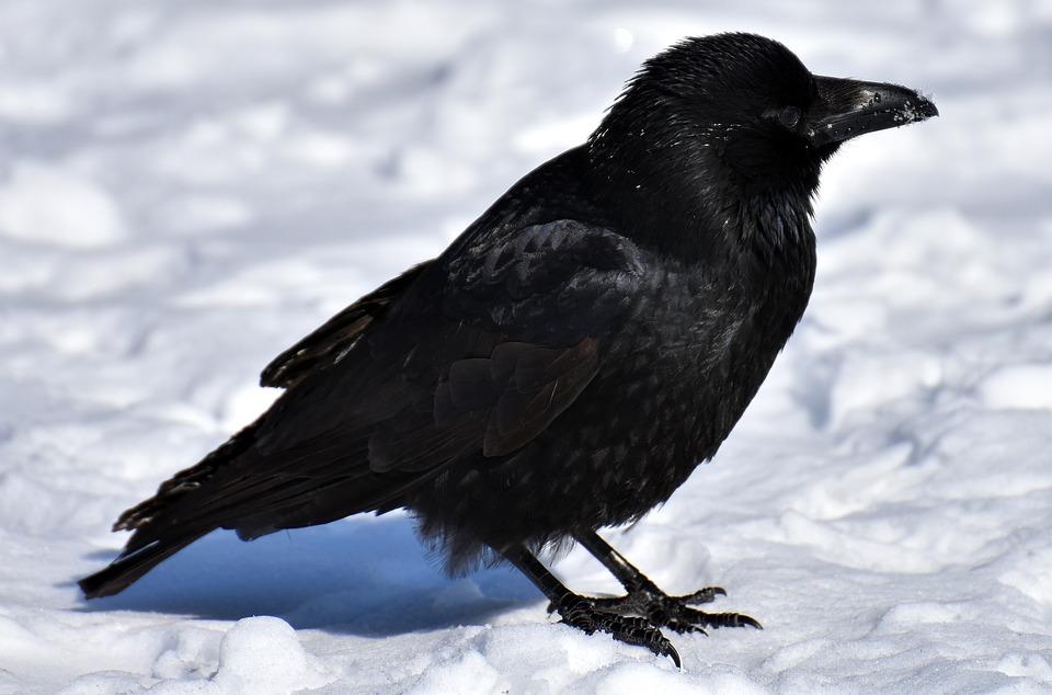 Crow, Animal, Common Raven, Raven, Snow, Winter, Cold