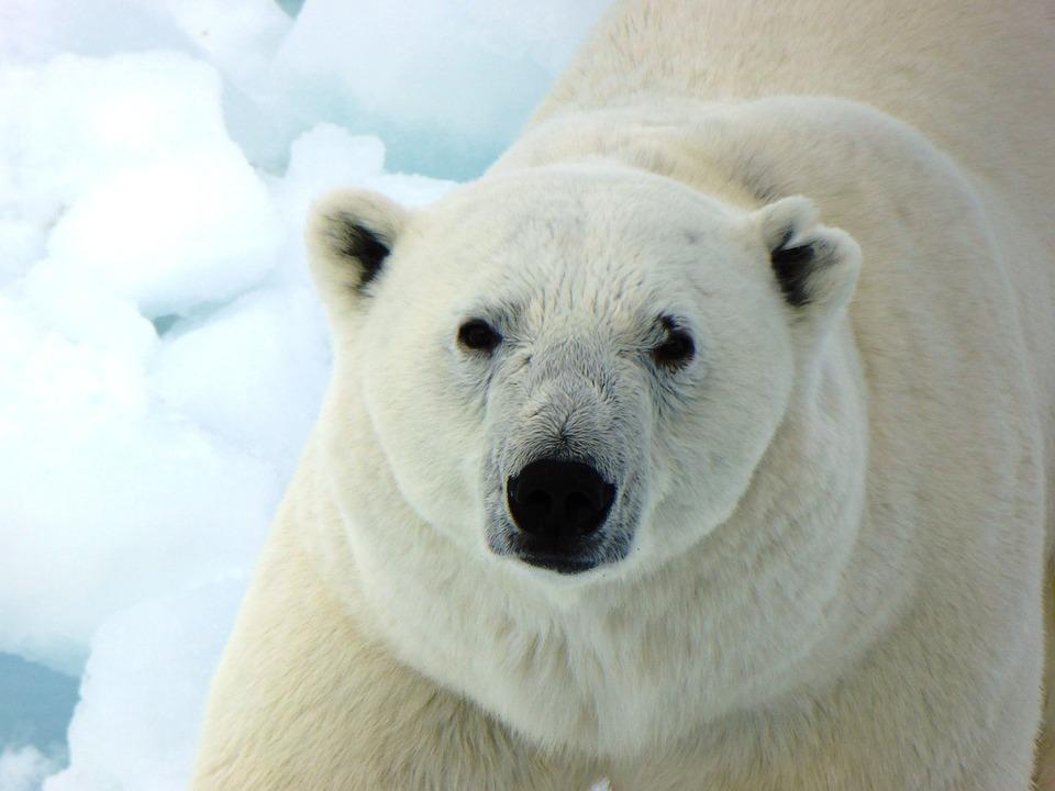 free photo snow arctic polar bear winter wild mammal. Black Bedroom Furniture Sets. Home Design Ideas