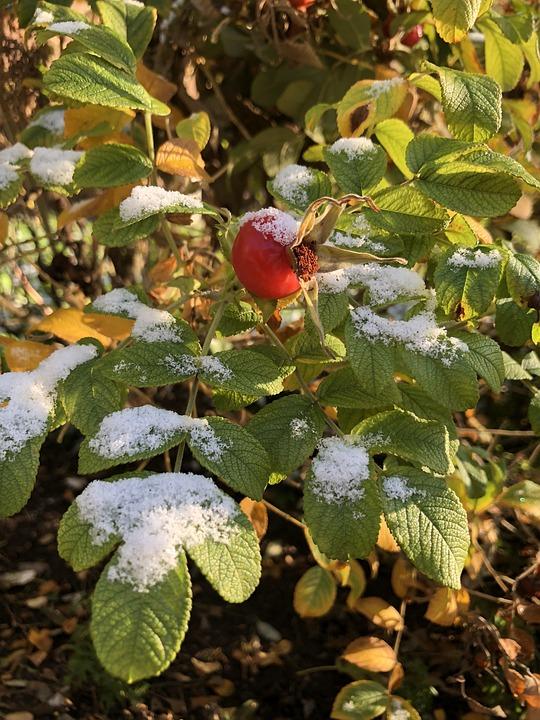 Rose Hip, Snow, Autumn