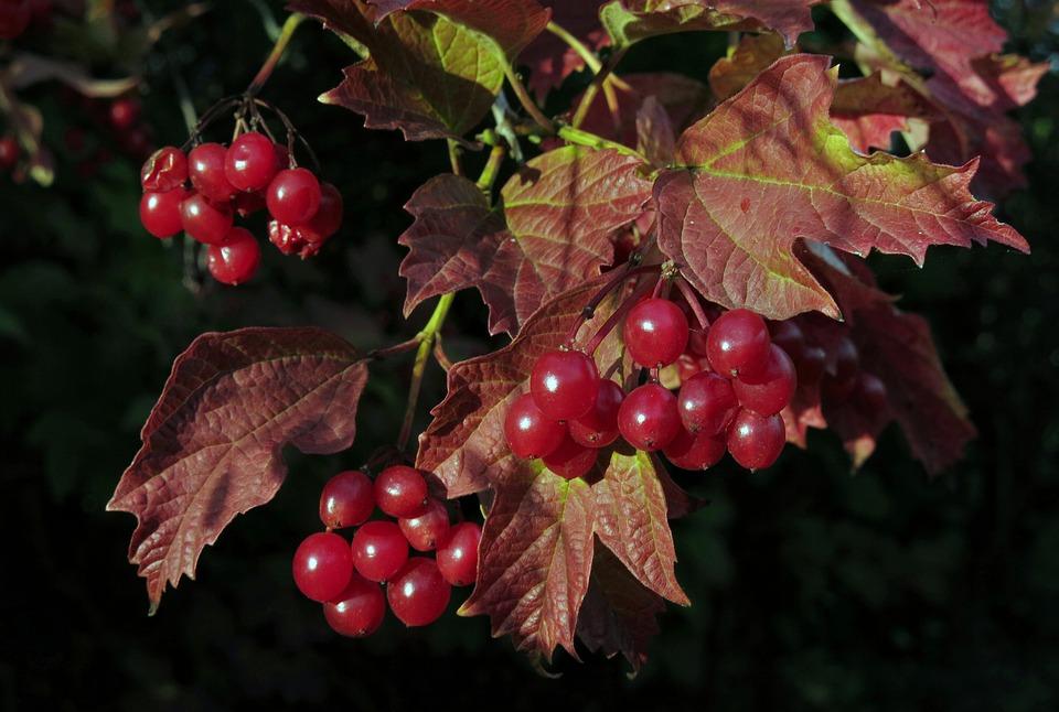 Snow Ball, Bush, Plant, Fruits, Viburnum Betulifolium