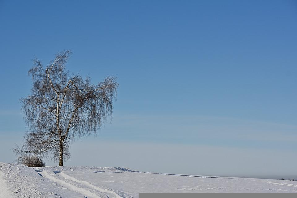Wintry, Birch, Snow, Nature, Cold, Snowy