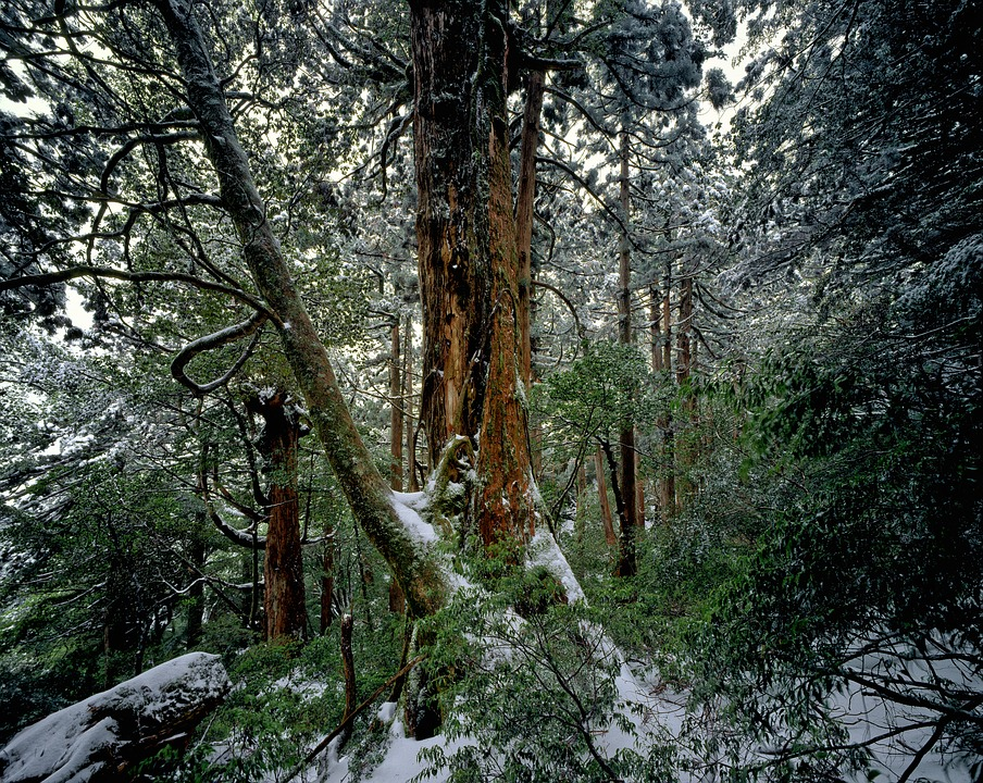 Cedar Forest, Winter, Snow, Yakushima Island