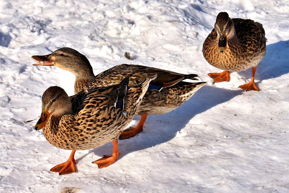 Ducks, Mallards, Snow, Winter, Cold, Colorful