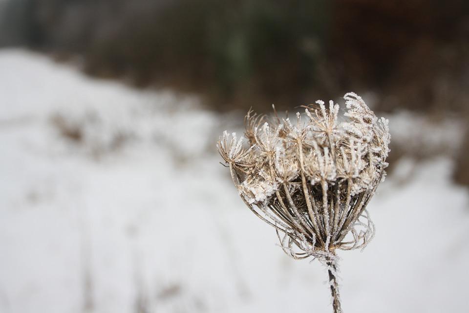 Snow, Flower, Dry, Winter, Cold, Frozen