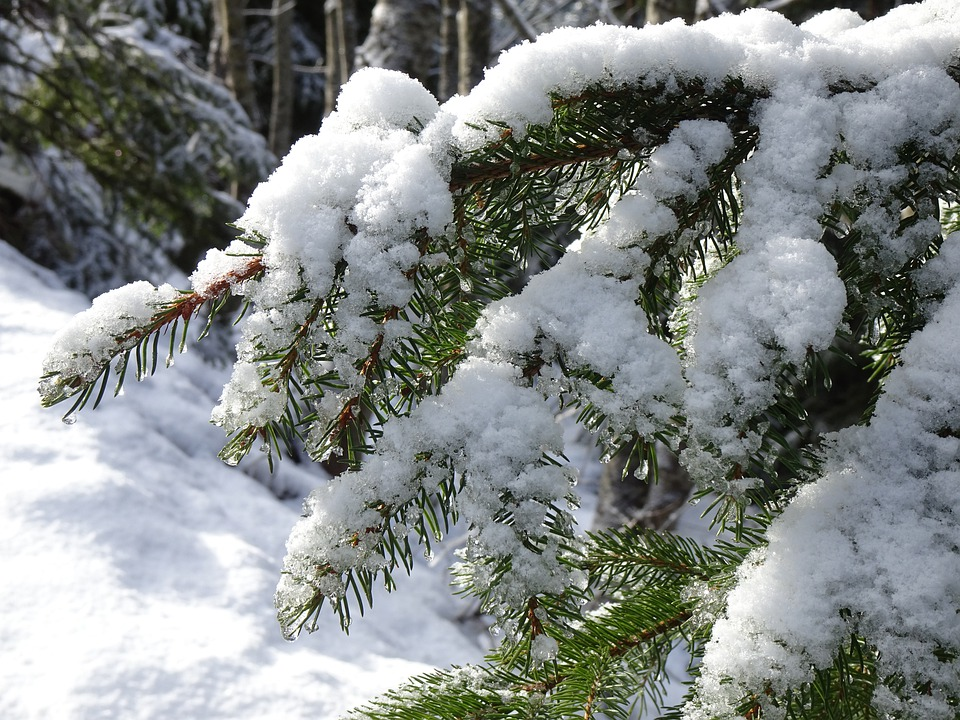 Snowy, Fir Tree, Holly, Winter, Wintry, Snow, Cold