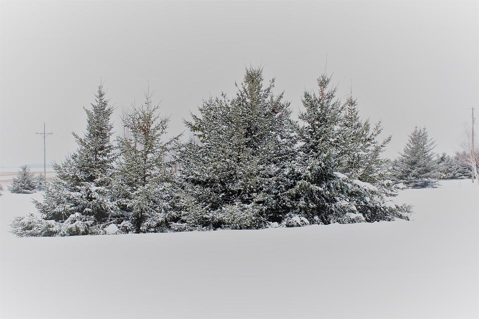 Pine Trees, Snow Covered Trees, Snow Covered Pine Trees
