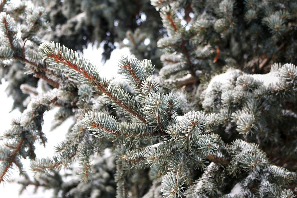 Pine, Pine Tree, Leaves, Conifers, Snow, Snow Crystals