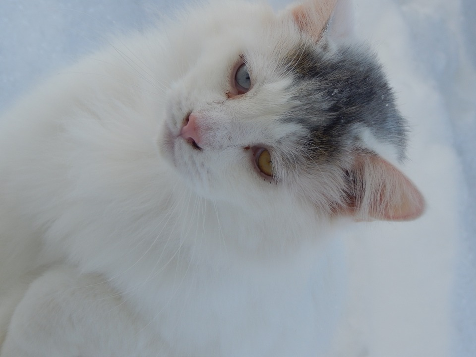 Cat, Cat Face, Cat's Eyes, Feline, Cute Cat, Snow