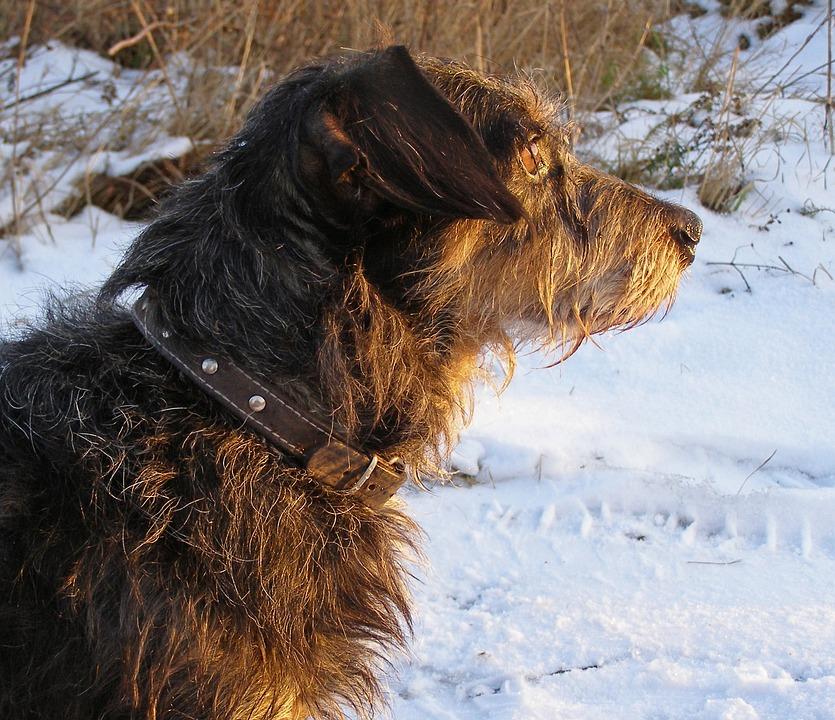 Dachshund, Dog, Pet, Snow, Winter