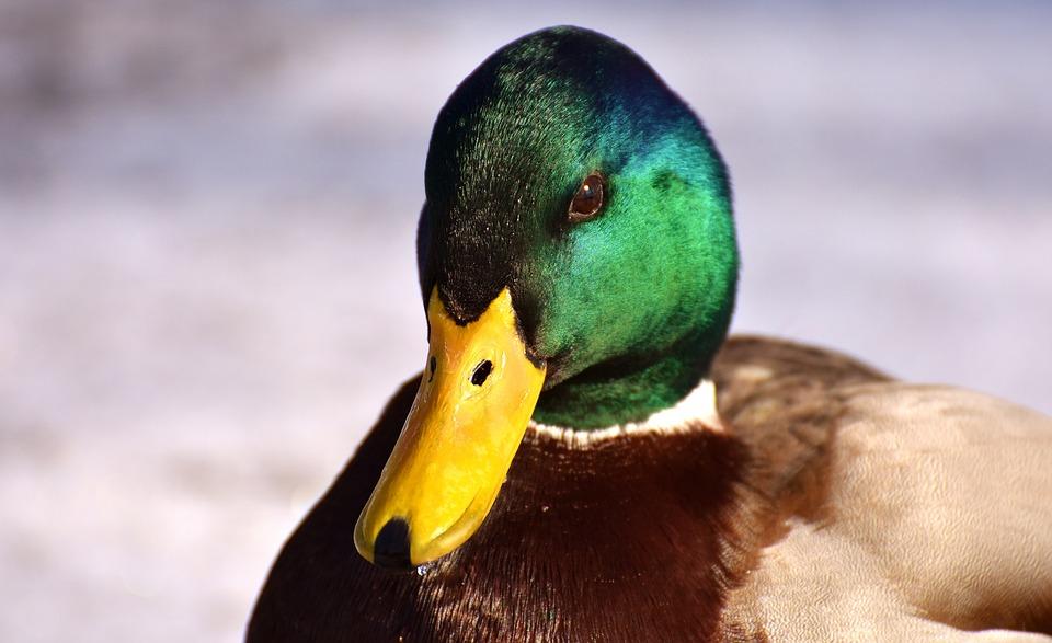 Mallard, Males, Bread, Eat, Snow, Winter, Water Bird