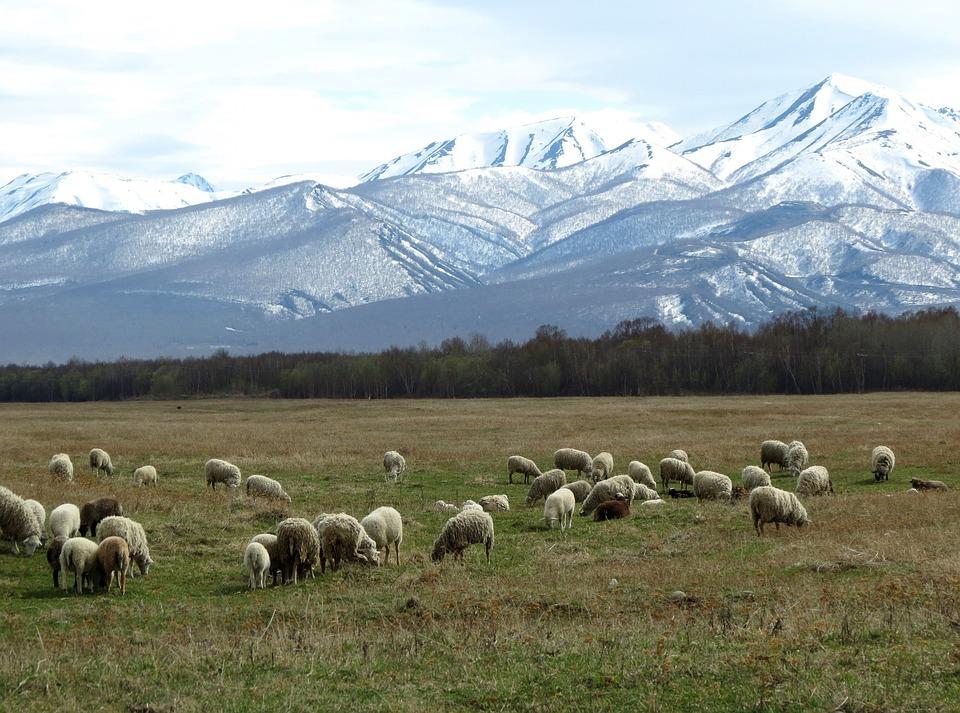 Sheep, Flock, Pasture, Meadow, Mountains, Snow
