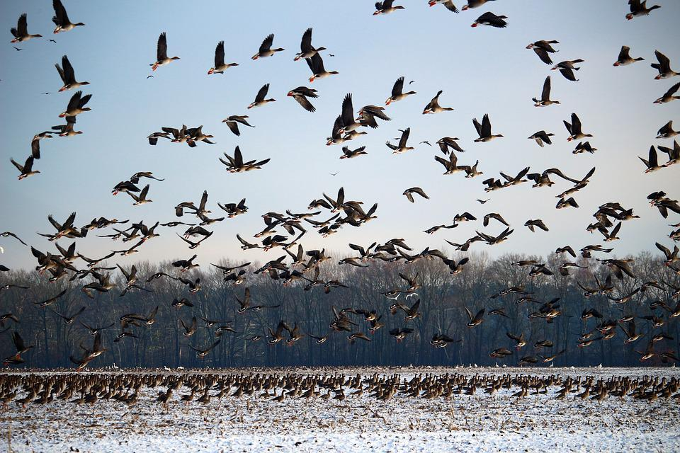 Wild Geese, Flock Of Birds, Winter, Snow